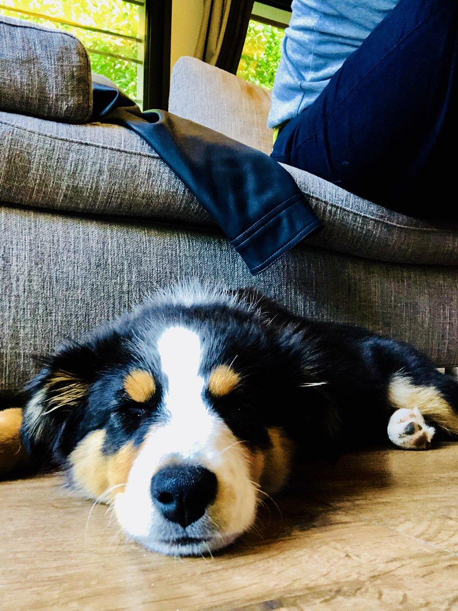 Petite sieste post-balade à la boulangerie 🥖 Ça l'a crevée visiblement 😂😂😂 #Madame #bergeraustralien #chien #dog