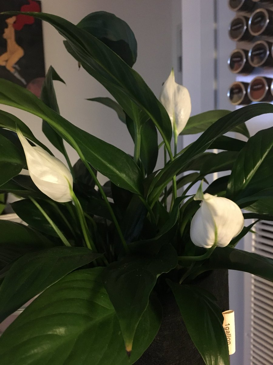 Asia Chloe Brown On Twitter Ive Got 3 Flowers On My Peace Lily