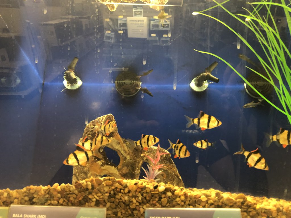 Vineeth Meka On Twitter Saw These Tiger Barbs At Petsmart And I