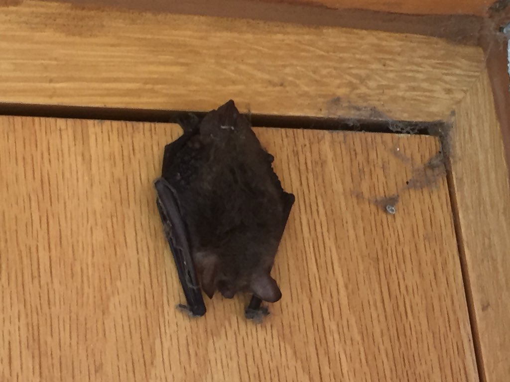Batconservationtrust On Twitter If The Bat Is Still There It Might Be Worth Following Advice Our Page Here Https T Co Uk3ocpfwr7 And Then Calling