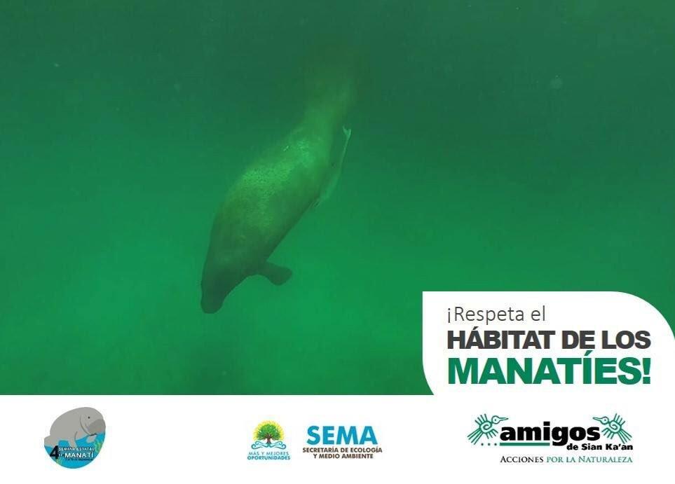 En #QRoo se pueden encontrar #manatíes de manera importante en la Bahía de Chetumal, río Hondo, en caletas y cenotes entre Playa del Carmen y Tulum, arrecifes de Mahahual, las bahías de la Reserva de la Biósfera Sian Ka'an y la Laguna Guerrero ¡cuida su hábitat!  Foto: @rika6512 https://t.co/QehmcpMLbN