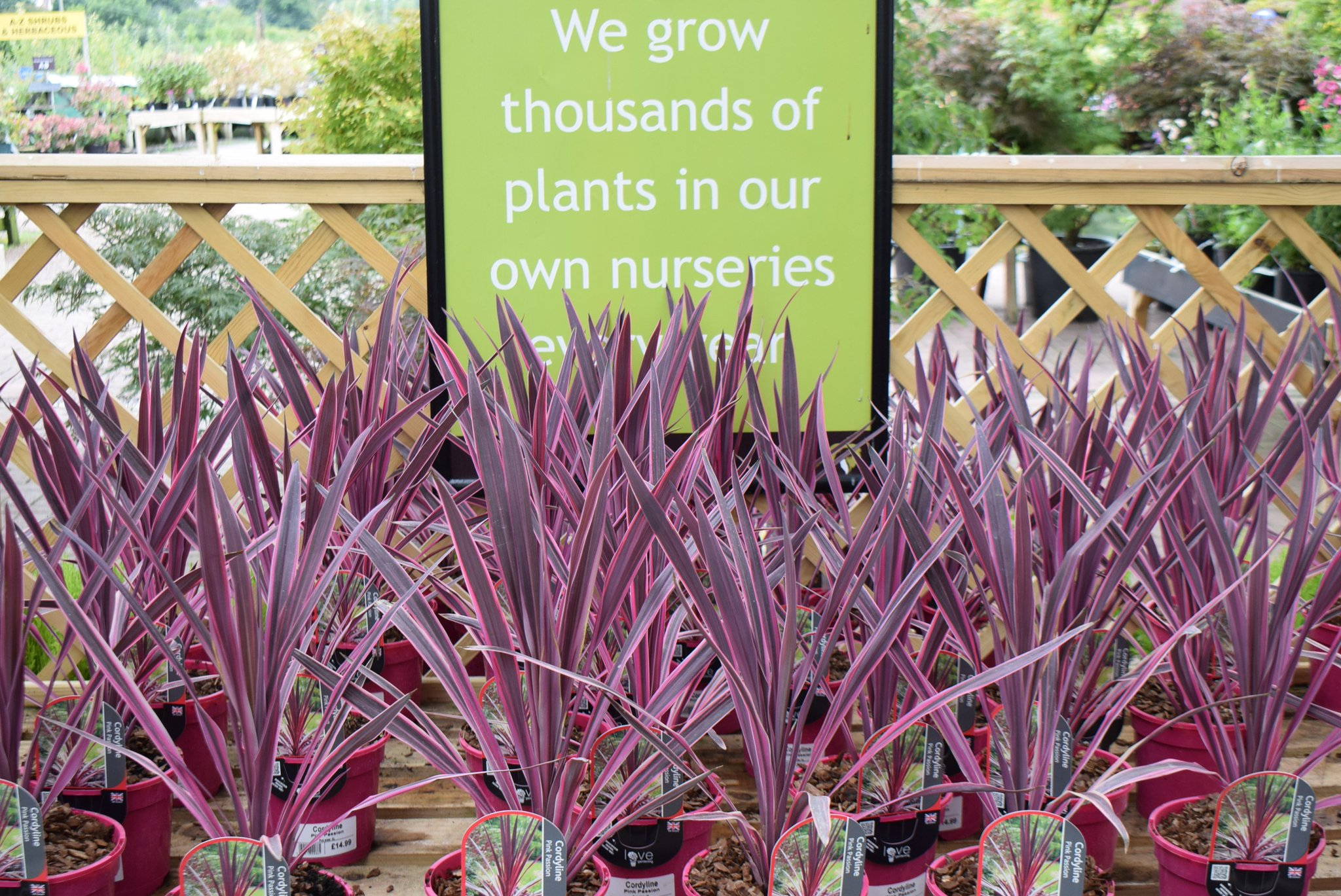 Otter Garden Centres On Twitter Cordyline Pink Passion Is