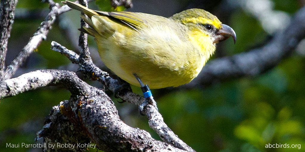 Kiwikiu is among the rarest and most #endangered of Hawaiian birds. Recent #ornithology studies estimate that just 300 individuals or fewer remain! ABC and partners are working to save this species. Learn more and contribute to the campaign today: buff.ly/2NC7YAs