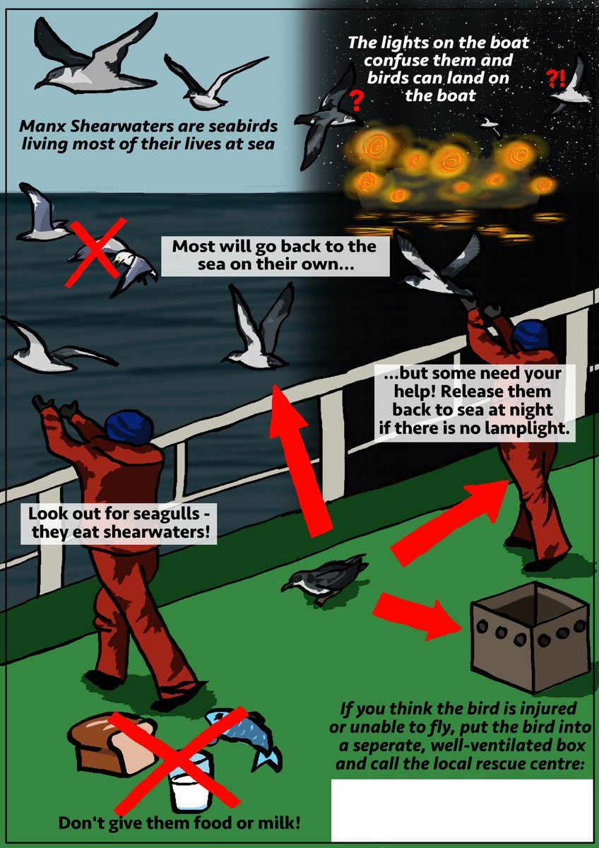 Lots of Manxies fledged last night into horrendous weather. If you find a shearwater ashore follow these guidelines. Keep them in a box until dark then take them to the sea and release them into the wind. Make sure there are no Herring Gulls nearby. DO NOT ATTEMPT TO FEED THEM.