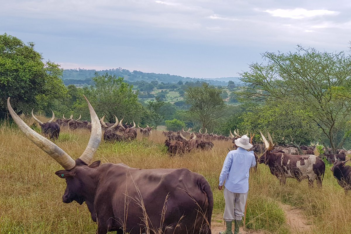 Today I opened a new paddock at my farm in Rwakitura after leaving it fallow for some months. My herd will feed on this fresh grass for several months. It is important to note that for farming to be a profitable enterprise, it must have a clear plan and specific calculations.