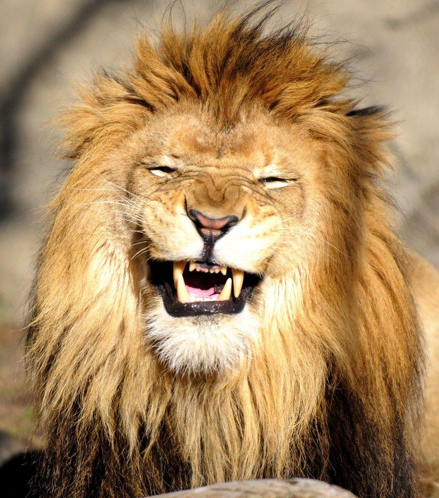 Лев прикольный картинка, витражи картинки