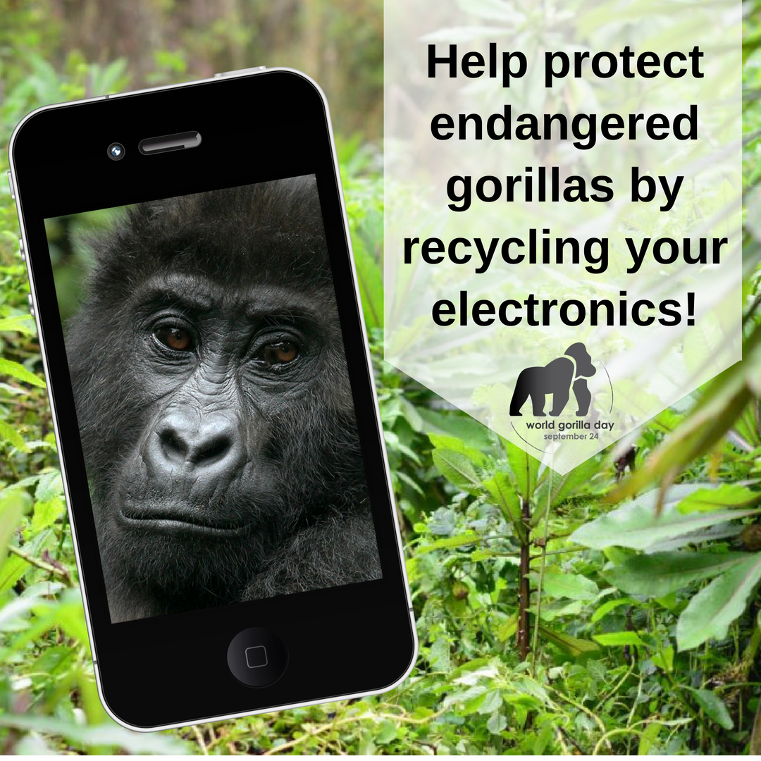 Here's a tip for #WorldGorillaDay! Recycling your cellphone can help save metals that are mined in gorilla habitats. Find a place to drop yours off, here. ellen.tv/2QXpPjM @SavingGorillas