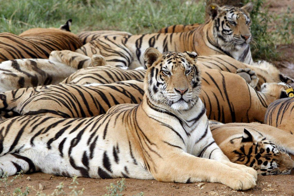 [#FAUNA] Población de tigres en Nepal casi se duplicó en los últimos nueve años https://t.co/bcQTTaX5xq