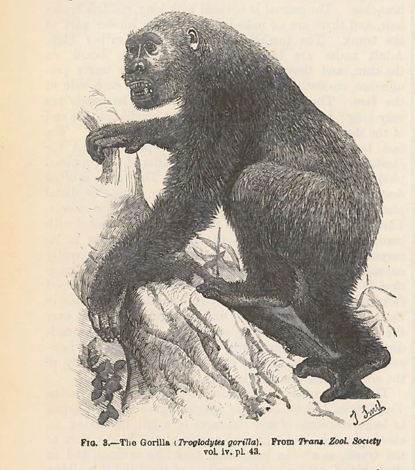 From the #archives: Illustration of a gorilla from our 9th edition (1878). #WorldGorillaDay
