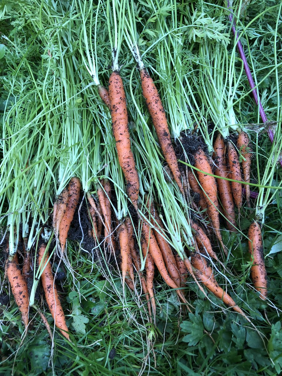 #nongmo #organic #carrots , #fresh from the #garden ! :D #delicious and all #natural :D https://t.co/2tIvMZWB6l