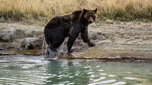#BREAKING: Judge restores protections for Yellowstone grizzly bears https://t.co/OYYjYdbjsG
