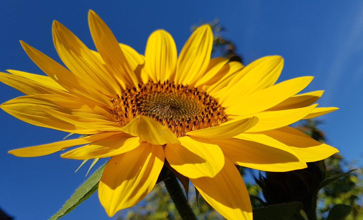 Retos Tweet Guten Morgen Die Sonnenblume Leuchtet Für