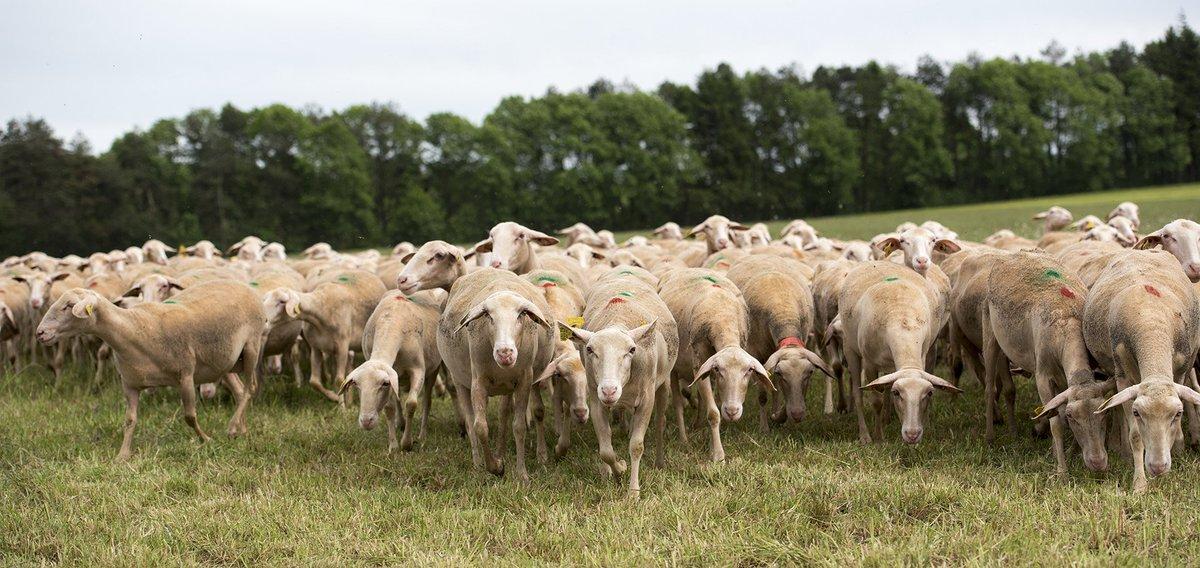 #coup_d_oeil : troupeau laitier de #brebis race #Lacaune sur le domaine expérimental de La Fage @Inra_Tlse #photo #Inra CMaitre. La Fage, un modèle éthique & durable d' en #élevageplein-air :  (Suhttps://t.co/zwoObPQbvHivez-nous: )https://t.co/0qqF4iv9MJ