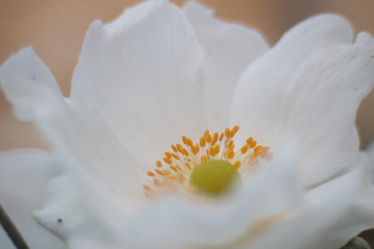 Gavpat On Twitter September Sees The White Japanese Anemone