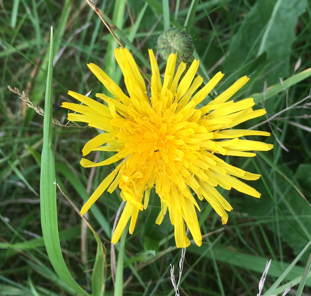 Skylark On Twitter Wild Tall Autumn Dandelion Like Flower