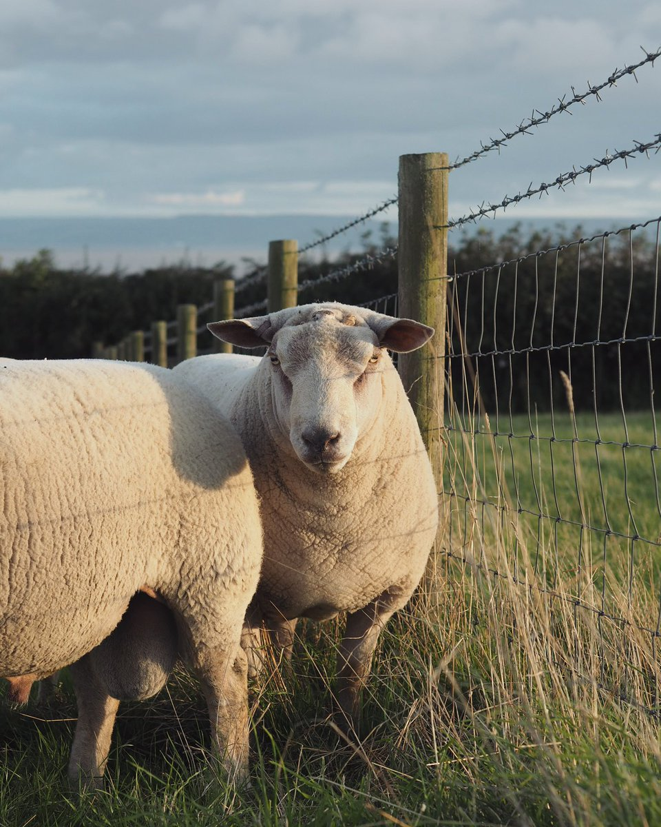 Charollais Sheep On Twitter Choose Charollais Rams For Profitable