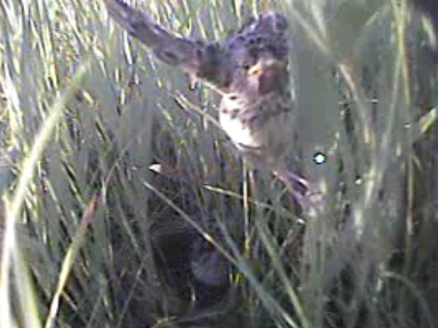 Get the backstory on this weeks new paper on using mini video cameras to study fledging behavior in this blog post by one of the authors! #ornithology americanornithologypubsblog.org/2018/09/12/aut…