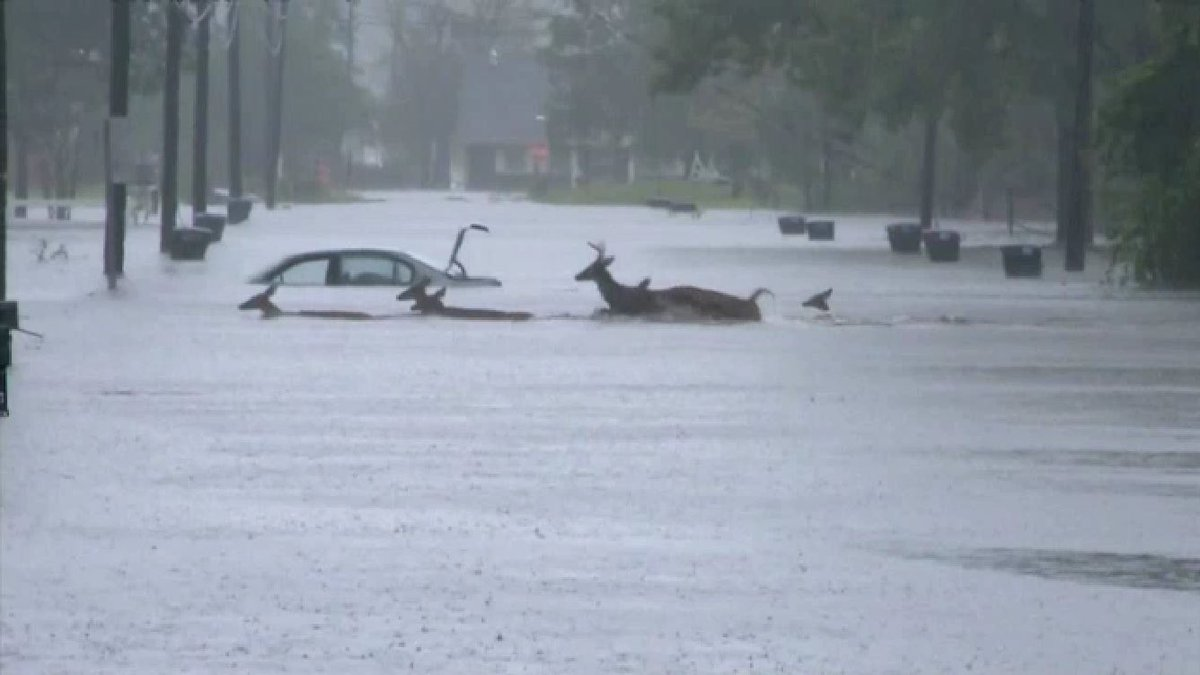 Heard of deer swimming in flood water in Jacksonville,NC!  This is real, we have video if it too on @weatherchannel !!!!!