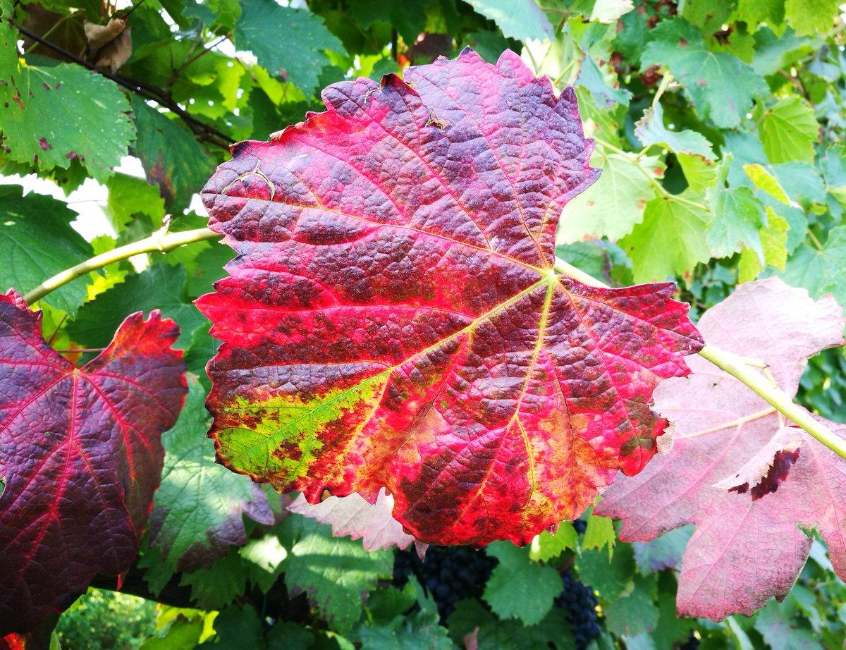 Cesena (FC) a volte il #bello sta nella diversità... #barbera docet ! #vendemmia #UVA #harvest18  #winelover  - Ukustom