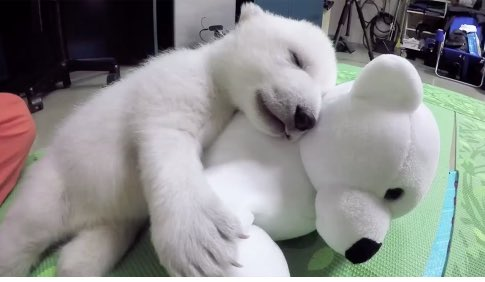 Show me something cuter than the Project Nora pic of a polar bear hugging a stuffed polar bear... I'll wait. #OJA18 #ONA18 <br>http://pic.twitter.com/VO190XV6SZ