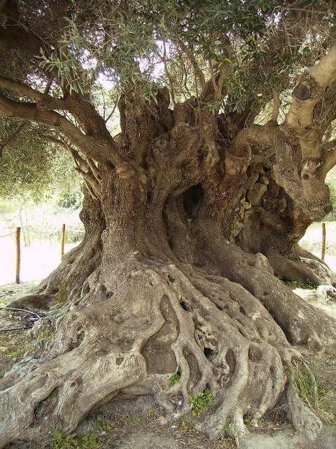 Ancient olive tree,Kavousi,Crete,Greece-perhaps dating back to Minoan times(roughly 3000 years old)