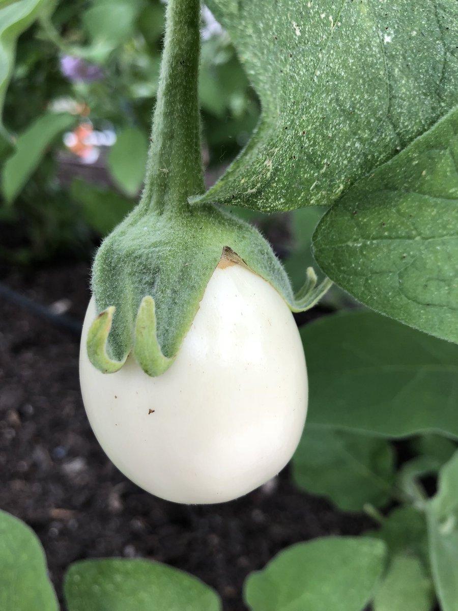 Marie Barberon On Twitter Lovely Plant Easter Egg Eggplant