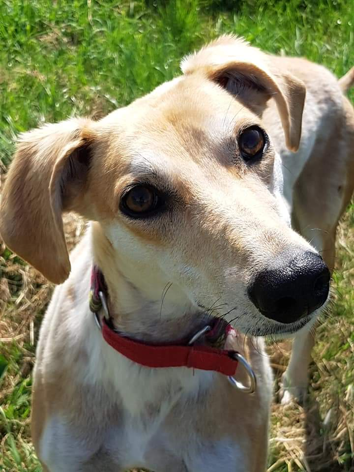 Moth is a young saluki x girl, confident and sassy. She loves kids and would love a busy home.