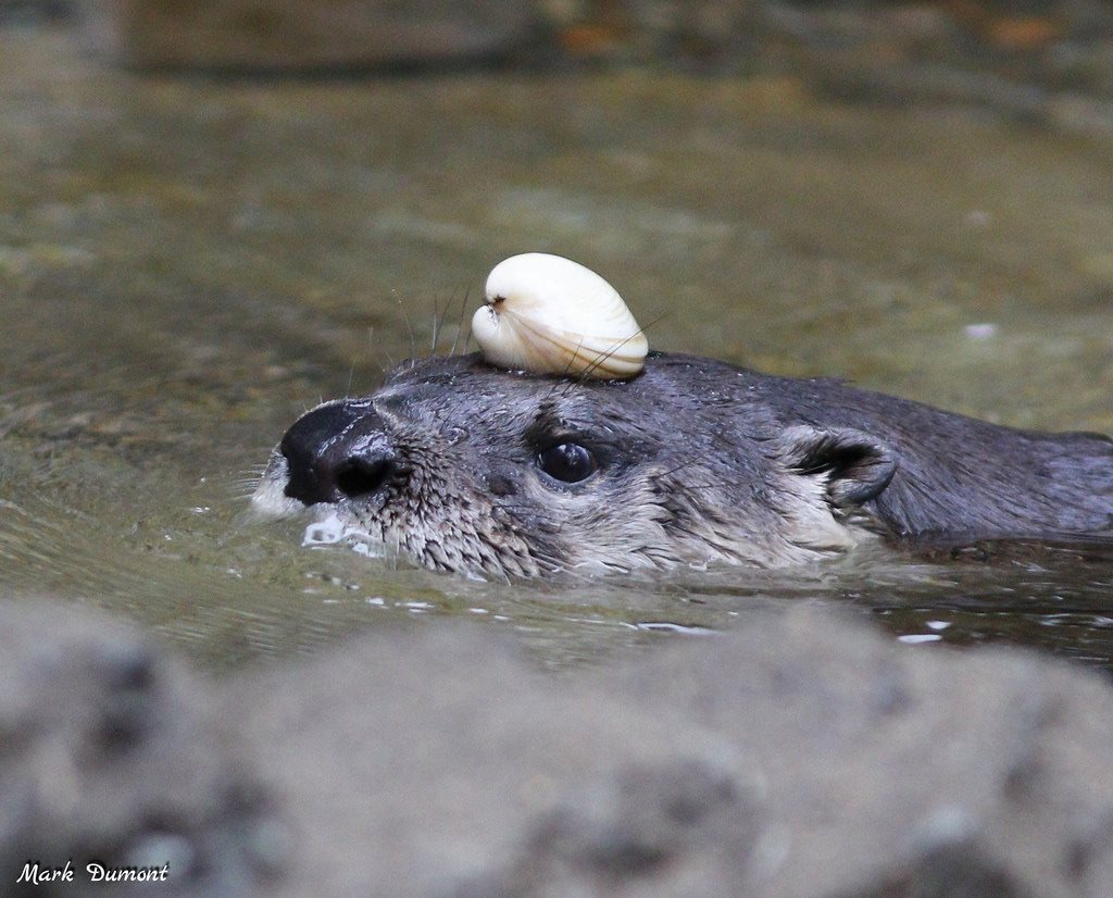 Sugar decided a safe place to store her clam was on top of her head!