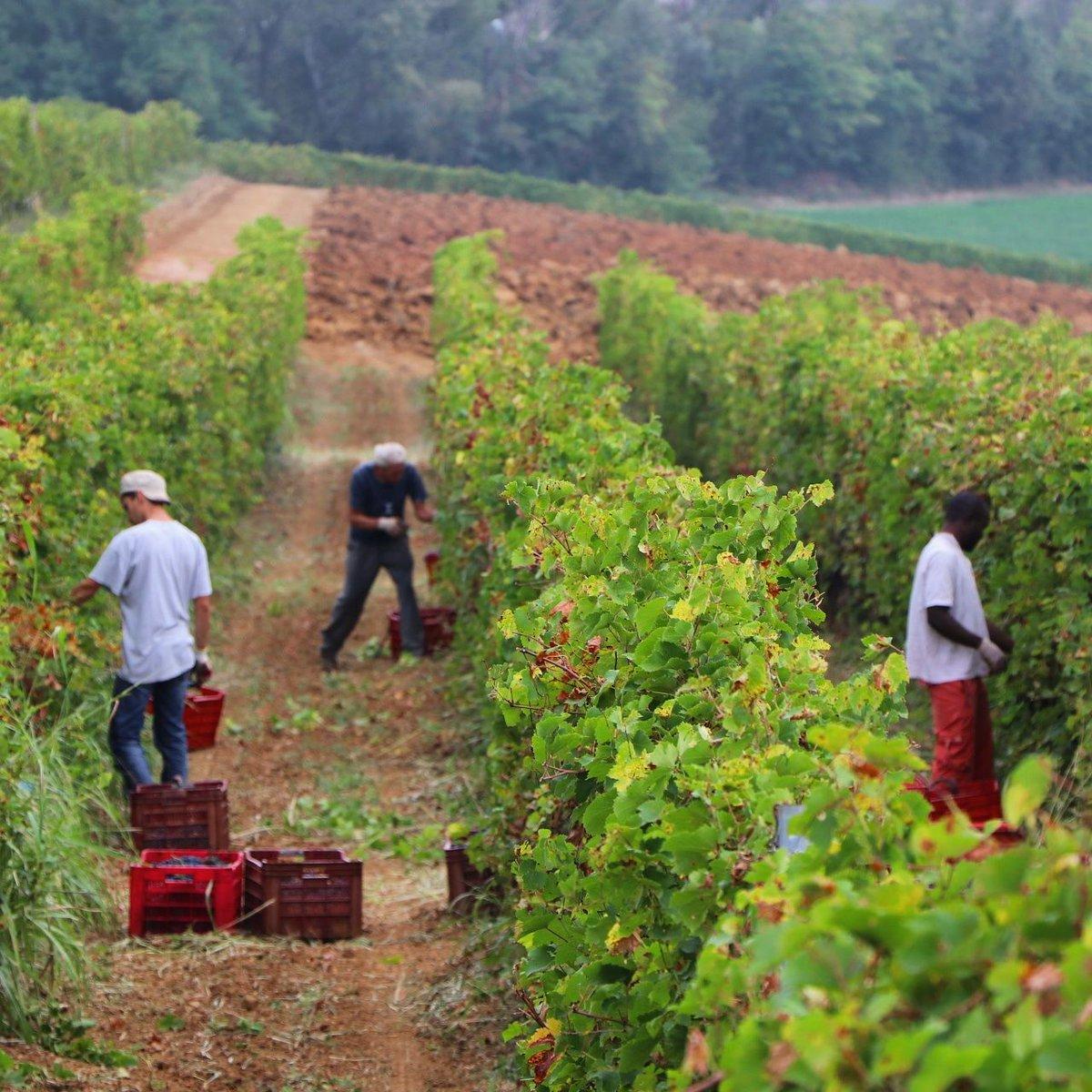 Inizia un altra settimana di vendemmia! #casabenna #vendemmia #harvesting #uva #grapes #vigneto #vineyards #amano #handpicked #raccoltaamano #piacenza #castellarquato #valdarda #gutturnio #barbera #bonarda #croatina  - Ukustom