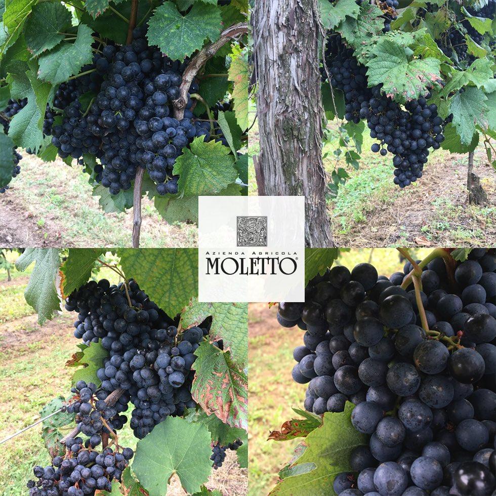 Great satisfaction in picking the #grapes of #MALBECH: big berries, covered by the bloom and very sweet..Grande soddisfazione nel raccogliere i grappoli di #uva MALBECH: acini grossi, ricoperti di preziosa pruina e dolcissimi..#Harvest2018 @ #MolettoWinery   - Ukustom