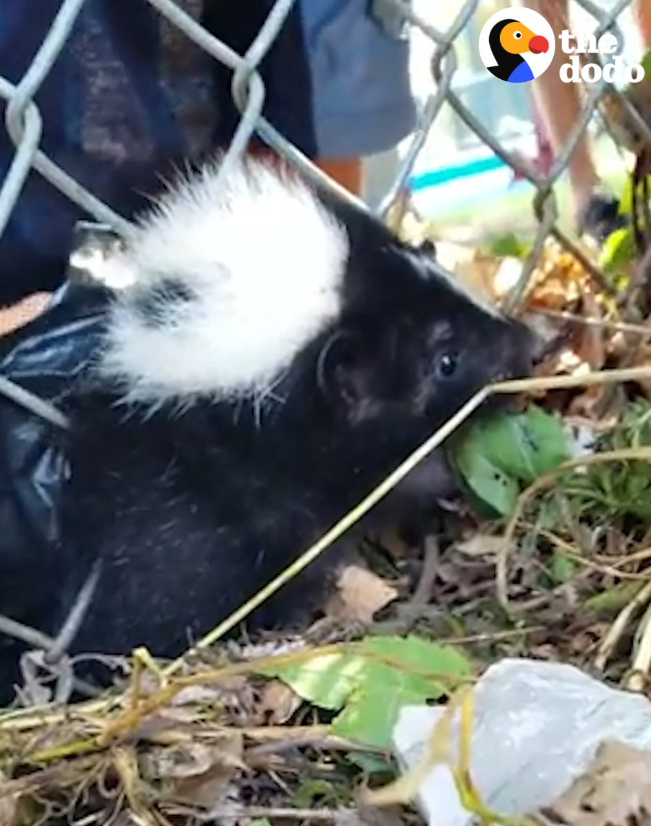 These people just found a skunk — who got himself stuck in a fence 😱