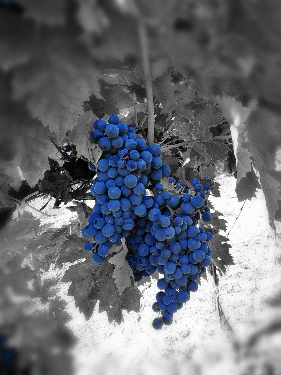 Pesaro (PU) tutti la chiamiamo #uva a bacca rossa, in realtà a pensarci bene il suo colore è il #blu..! il #Montepulciano entra nella fase decisiva per la sua #maturazione! #wine #harvest #Vendemmia #winelover  - Ukustom