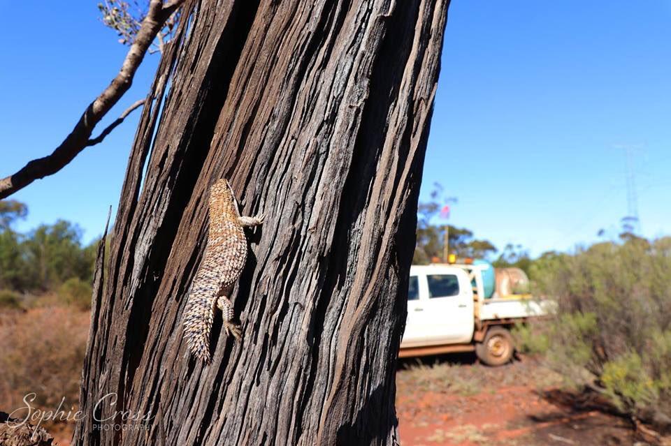 Egernia depressa (Pygmy spiny-tailed skink). Super cool little lizards! #wildoz #herpetology