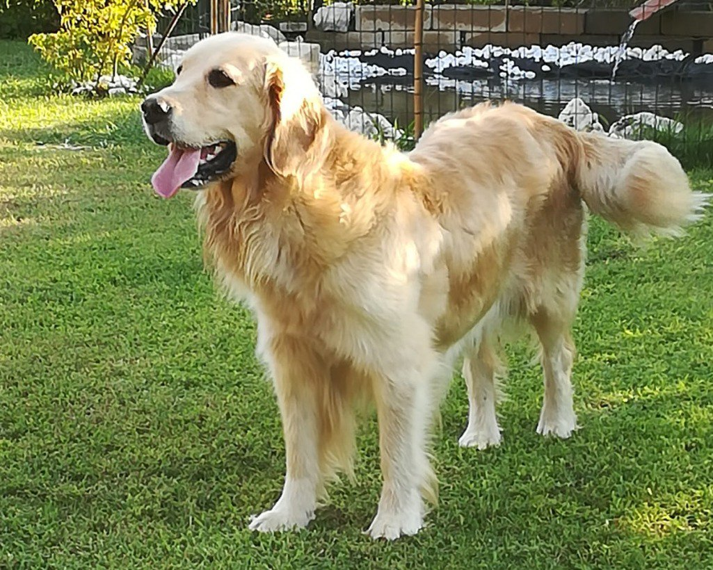 Verona: CUCCIOLI DI GOLDEN RETRIEVER: #vendita #cuccioli #goldenretriever #verona Vai all\
