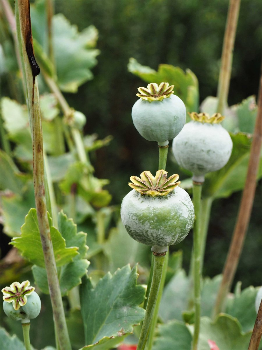 Dawn C On Twitter Poppy Seed Pods This And Many More Images