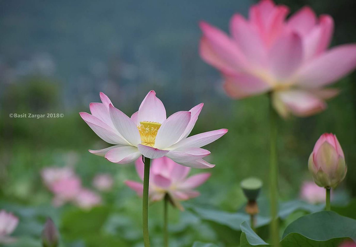 All About Kashmir On Twitter A Lotus Flower Blooms In Dal Lake