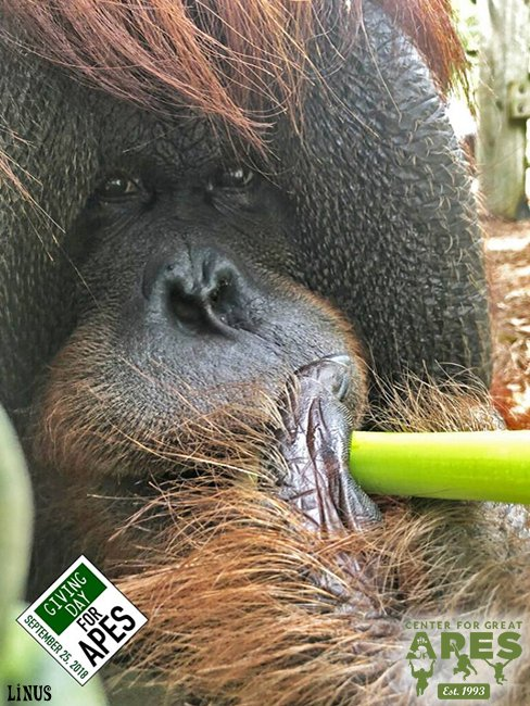 #Orangutan Linus eats about 50 pounds of produce a week! A diet of fresh fruits, veggies & greens, starches, & 15 lbs of primate biscuits weekly. A donation of $25 for #GivingDayforApes will provide his produce for 1 week. Donate now through Sept 25th at: Photo