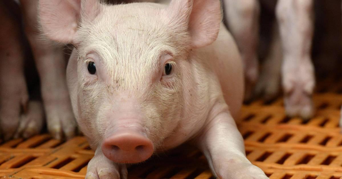 Peste porcine africaine. Six pays cessent d'importer du porc de Belgique https://t.co/6TBEUNbME0
