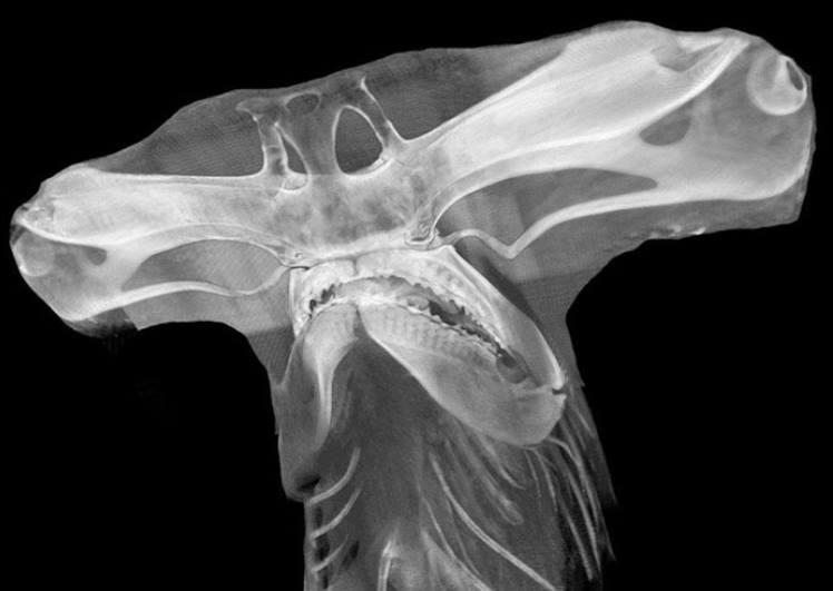 CT scan of a Great Hammerhead shark (Sphyrna mokarran) head 🦈 depts.washington.edu/fhl/tidebites/…