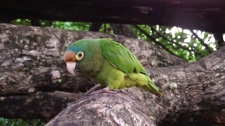 chocoyo bird