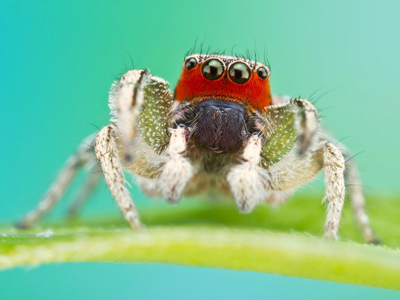 Female jumping spiders are incorrigible cannibals. They eat the males, often. So a lab is testing whether putting face paint and fake eye lashes on the males change the way the females act around them . . . or whether they'll still be lunch. https://t.co/pF5aGfbusH