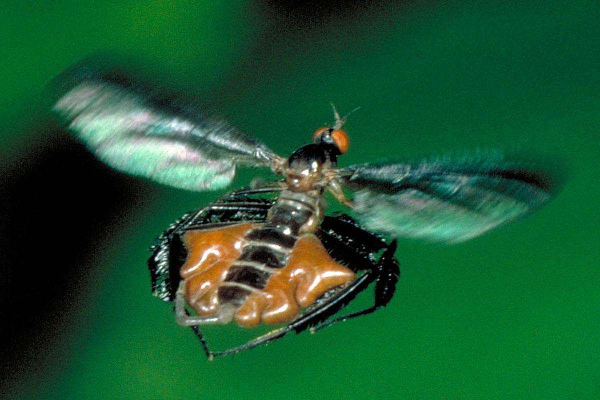 Dance flies attract males with their hairy legs and inflatable sacs https://t.co/ePtI0JDyZY