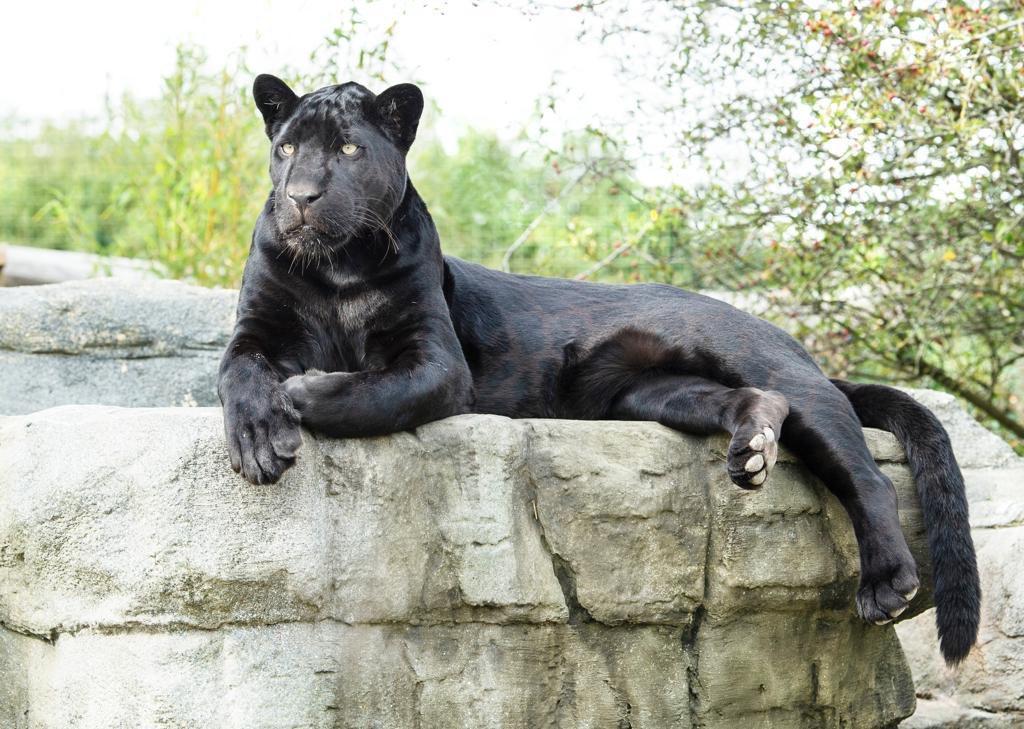 maya the jaguar mayathejaguar twitter