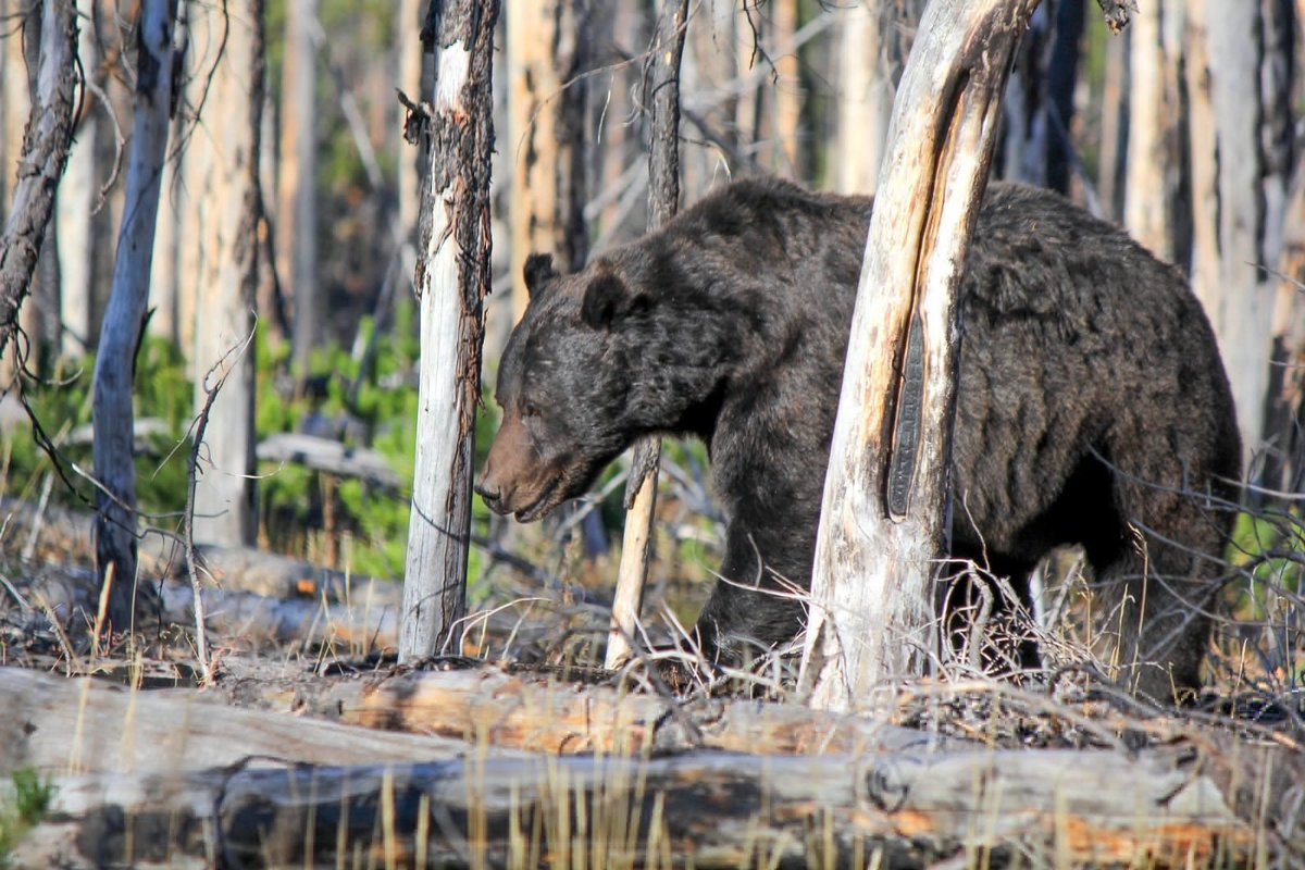 Reflections On The Fatal Grizzly Bear Mauling In Wyoming: mountainjournal.org/reflections-on… #grizzly #grizzlybear #WildlifeWednesday #wildlife #bears #mauling #Yellowstone #grandteton #Wyoming #WyomingNews #elkhunting #elk #nationalforest