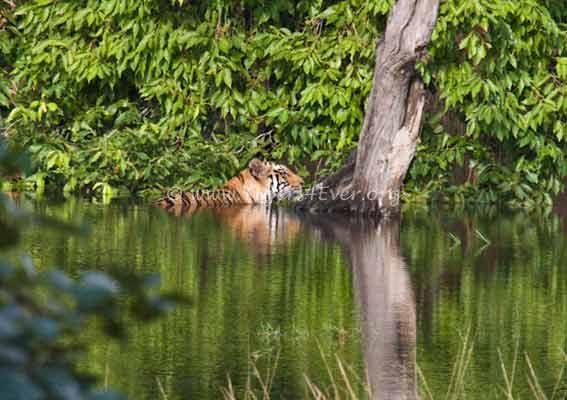 Tigers4Ever's photo on #WednesdayWisdom