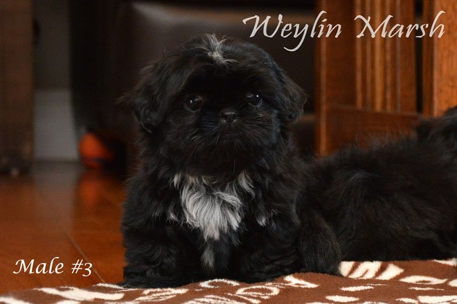 Purdypuppy On Twitter Ckc Registered Purebred Shih Tzu Puppies For