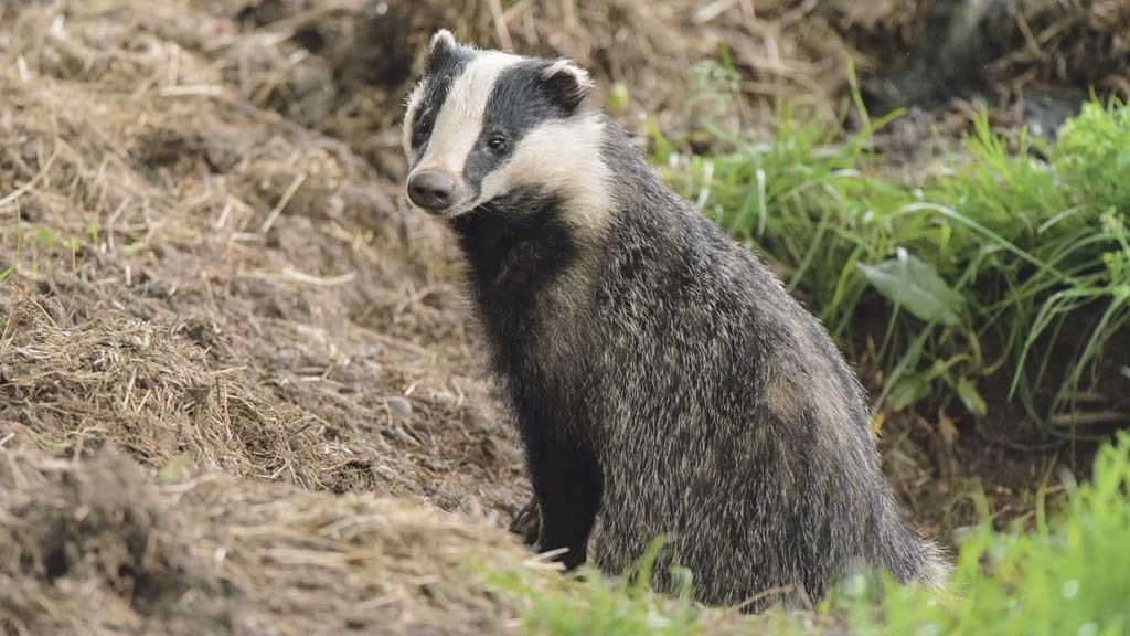 Old Mill issues apology after major badger cull data breach fginsight.com/news/top-stori…