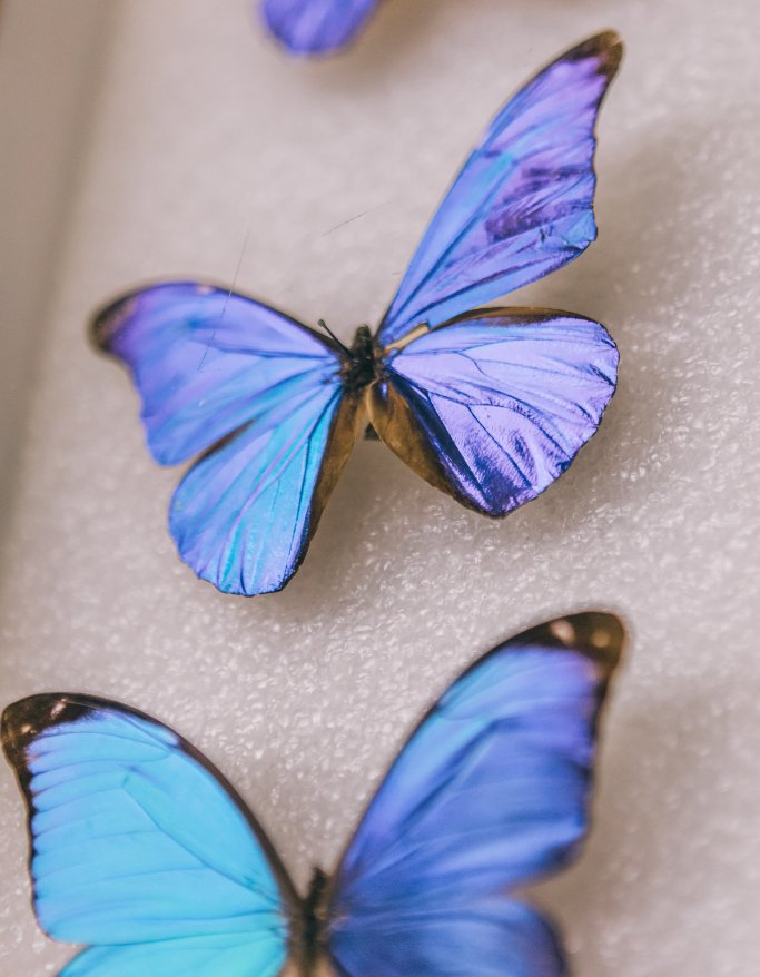 A blue morphos wings are superhydrophobic, meaning water will bead and roll, taking dirt and dust with it. This self-cleaning property means these butterflies can fly in the rain. 🦋💧