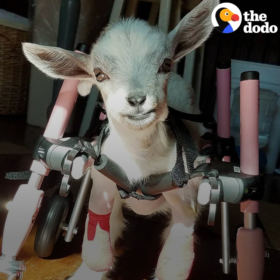 This little goat was born without front legs... and it doesn't make a difference to her. 💜