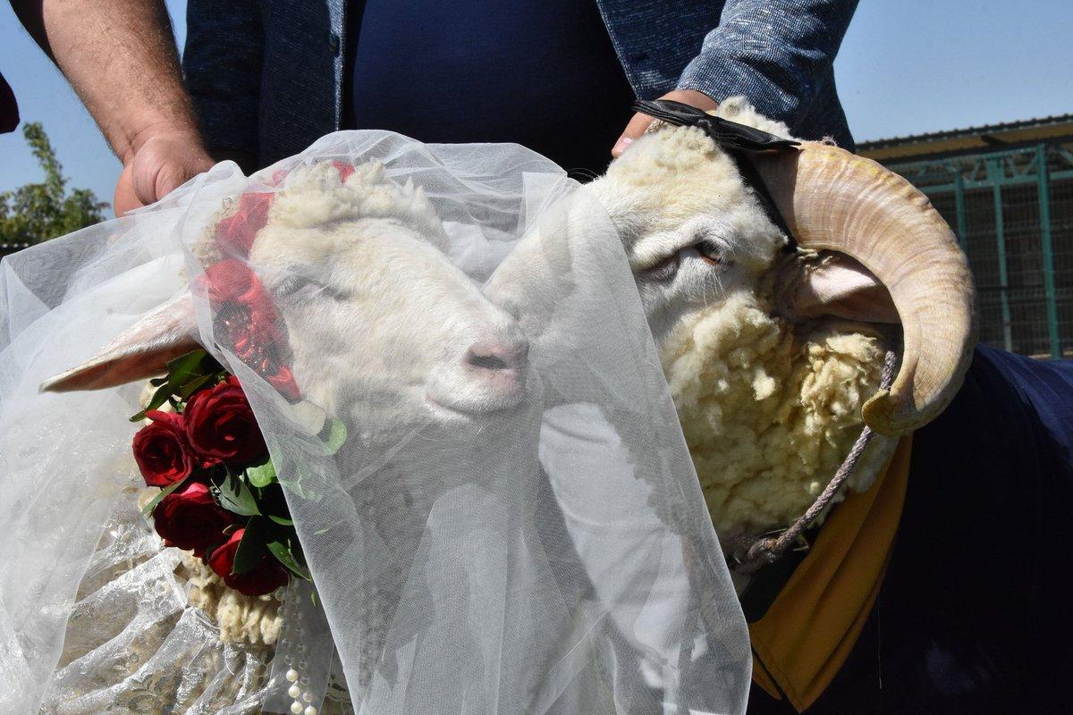 картинки коза свадьба являются один
